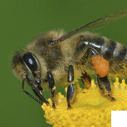 Abelhas, vespas e marimbondos - Controle de Pragas