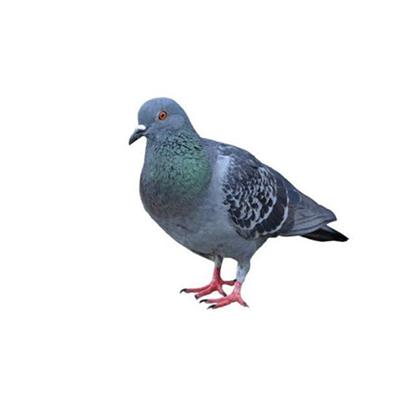 Pombos - Dedetização e Controle de Pombos