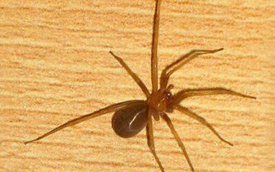 4 Razões para realizar a Dedetização de aranha-marrom