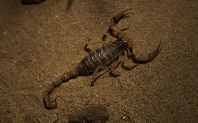 Prevenção contra escorpiões: Deixe essas pragas longe da sua casa
