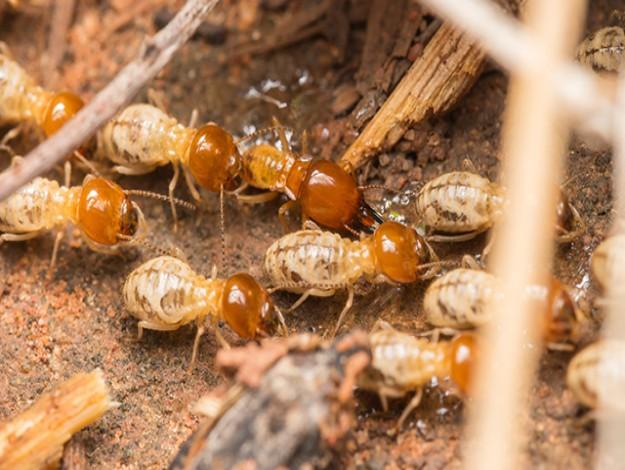 Infestação de Cupins como escolher uma controladora de pragas | Joinville