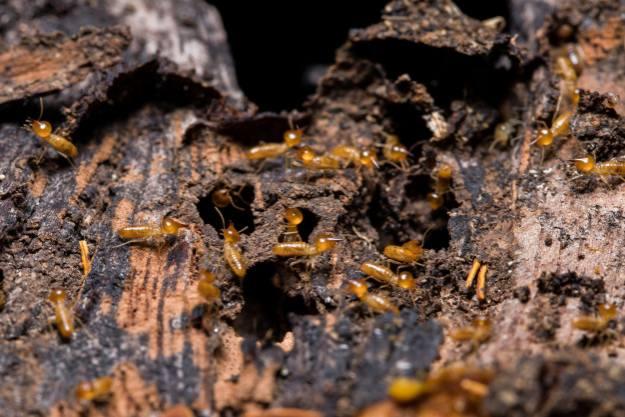 Infestação de Cupins principais espécies | Joinville