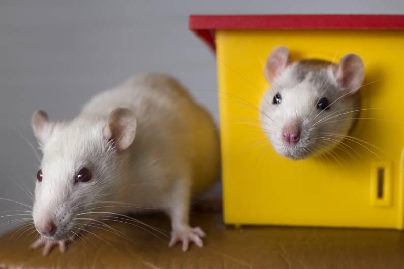 Não deixe os ratos se abrigarem no seu espaço: contrate a desratização